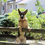 Que faire si votre chien est fugueur ?
